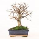 Orme de Chine ulmus parvifolia bonsai semi-acclimaté ref.19139