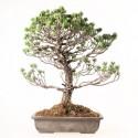 Pin blanc du Japon pinus parviflora bonsaï 50 cm ref.19156