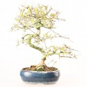 Frêne de Chine fraxinus sinensis bonsai 39 cm ref.19200