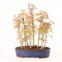 Groupe d'acer palmatum Yamamomiji 11 plants import Japon 2019 ref.19220