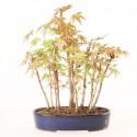Groupe d'acer palmatum Yamamomiji 11 plants import Japon 2019 ref.19232