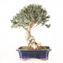 Olivier sauvage bonsaï olea europaea sylvestris 42 cm ref.19242