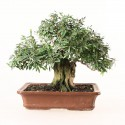 Cendrawasih phyllantus myrtifolius bonsai 24 cm ref.19250