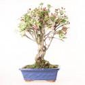 Pommier Van Eseltine bonsaï 60 cm ref.19255