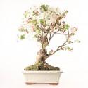 Pommier Van Eseltine bonsaï 60 cm ref.19270