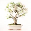Pommier Van Eseltine bonsaï 55 cm ref.19273