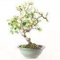 Cerisier de Sainte-Lucie prunus mahaleb bonsaï 37 cm ref.19274