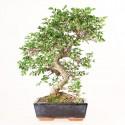 Orme de Chine ulmus parvifolia bonsai semi-acclimaté ref.19290