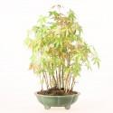 Groupe d'acer palmatum Yamamomiji bonsaï 35 cm import Japon ref.19298
