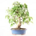 Pommier Van Eseltine bonsaï 50 cm ref.19325
