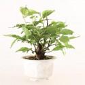 Prunus Mume abricotier du Japon prébonsaï 12 cm ref.19334
