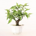 Prunus Mume abricotier du Japon prébonsaï 13 cm ref.19338