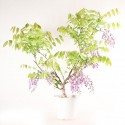 Glycine du Japon wisteria floribunda prébonsaï 60 cm ref.19364