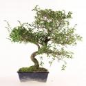 Orme de Chine ulmus parvifolia bonsai semi-acclimaté ref.19365