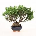 Fusain du Japon euonymus sieboldianus bonsaï 23 cm ref.19411