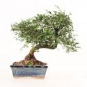 Orme de Chine ulmus parvifolia bonsai semi-acclimaté 46 cm ref.19420
