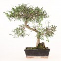 Orme de Chine ulmus parvifolia bonsai semi-acclimaté ref.19423