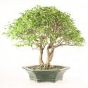 Troène de Chine import Indonésie bonsaï 20 ans 50 cm ref.19440