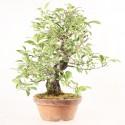Pommier à fleurs japonais prébonsaï malus halliana import 2019 40 cm ref.19445