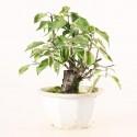 Prunus Mume abricotier du Japon prébonsaï 18 cm ref.19451