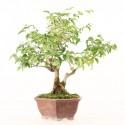 Troène de Chine import Indonésie bonsaï ref.19456