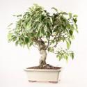 Pommier Van Eseltine Malus sp. bonsaï 61 cm ref.19470