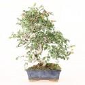 Orme de Chine ulmus parvifolia bonsai semi-acclimaté ref.19471