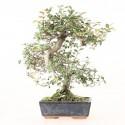 Orme de Chine ulmus parvifolia bonsai semi-acclimaté ref.19474