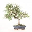 Orme de Chine ulmus parvifolia bonsai semi-acclimaté ref.19475