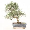 Orme de Chine ulmus parvifolia bonsai semi-acclimaté ref.19479