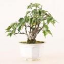 Prunus Mume abricotier du Japon prébonsaï 12 cm ref.19484