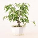 Prunus Mume abricotier du Japon prébonsaï 18 cm ref.19485