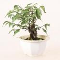 Prunus Mume abricotier du Japon prébonsaï 14 cm ref.19486