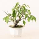 Prunus Mume abricotier du Japon prébonsaï 15 cm ref.19490