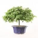 Érable du Japon acer palmatum Kiyohime prébonsaï 24 cm import Japon ref.19496