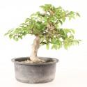 Charme de Corée carpinus coreana prébonsaï 16 cm ref.20028