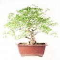 Charme de Corée carpinus coreana prébonsaï spécimen 47 cm ref.20028