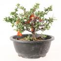 Cognassier du Japon chaenomeles speciosa import Corée 2020 ref.20032