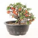 Cognassier du Japon chaenomeles speciosa import Corée 2020 ref.20034