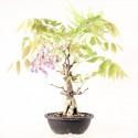 Glycine du Japon wisteria sp.prébonsaï 35 cm ref.20058