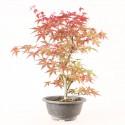 Érable du Japon deshojo acer palmatum prébonsaï 33 cm ref.20060