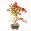 Érable du Japon deshojo acer palmatum prébonsaï 40 cm ref.20062