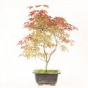 Érable du Japon deshojo acer palmatum prébonsaï 36 cm ref.20065