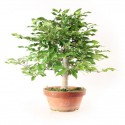 Hêtre du Japon fagus crenata bonsaï 33 cm import 2020 ref.20087
