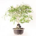 Premna japonica Nioi Kaede sur roche bonsaï 35 cm import Corée 2020 ref.20095
