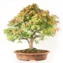 Érable du Japon Kashima 44 cm acer palmatum kashima import Japon 2020 ref.20113