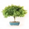 Erable du Japon Acer Palmatum Kotohime bonsaï 42 cm import 2020 ref.20118
