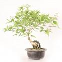 Premna japonica Nioi Kaede sur roche bonsaï 35 cm import Corée 2020 ref.20120