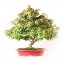 Érable du Japon Kashima 43 cm acer palmatum kashima import Japon 2020 ref.20122