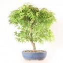 Érable du Japon acer palmatum Katsura 40 cm import 2020 ref.20124